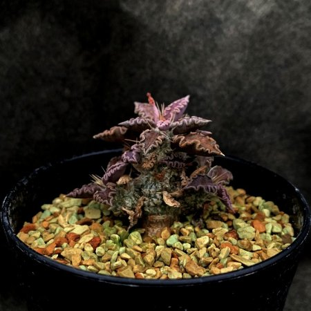<img class='new_mark_img1' src='https://img.shop-pro.jp/img/new/icons8.gif' style='border:none;display:inline;margin:0px;padding:0px;width:auto;' />Euphorbia tulearensis