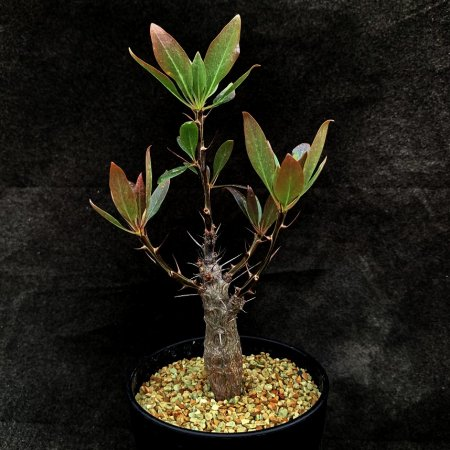 Fouquieria ochoterenae