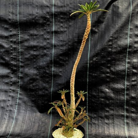 <img class='new_mark_img1' src='https://img.shop-pro.jp/img/new/icons8.gif' style='border:none;display:inline;margin:0px;padding:0px;width:auto;' />Dorstenia gigas