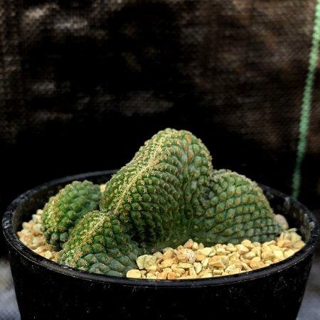 Strombocactus disciformis crist.