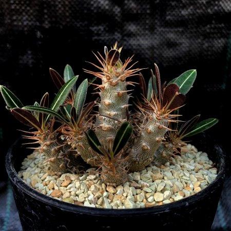 Pachypodium cactipes