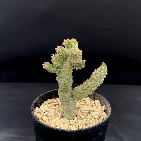 Pseudolithos dodsonianus