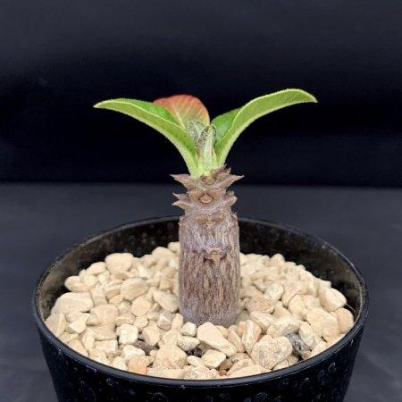 Pachypodium windsorii
