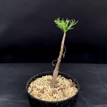 Commiphora kraeuseliana