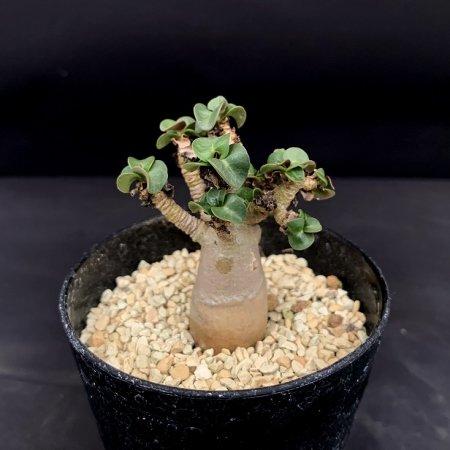 Adenium arabicum dwarf