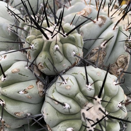 <img class='new_mark_img1' src='https://img.shop-pro.jp/img/new/icons8.gif' style='border:none;display:inline;margin:0px;padding:0px;width:auto;' />【Seeds 10】Copiapoa cinerea
