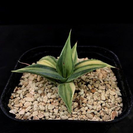 Agave isthmensis variegata 'youkihi'