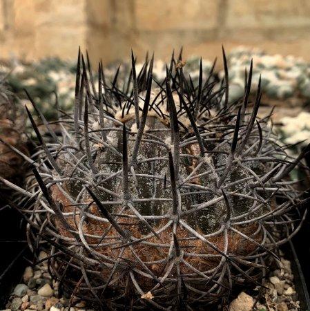 【Seeds 10】Copiapoa griseoviolacea