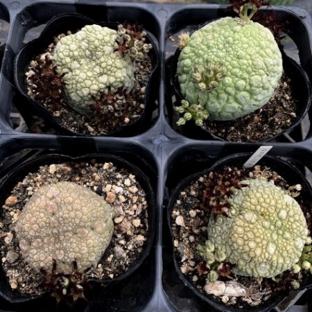 <img class='new_mark_img1' src='https://img.shop-pro.jp/img/new/icons8.gif' style='border:none;display:inline;margin:0px;padding:0px;width:auto;' />【Seeds 10】Pseudolithos migiurtinus