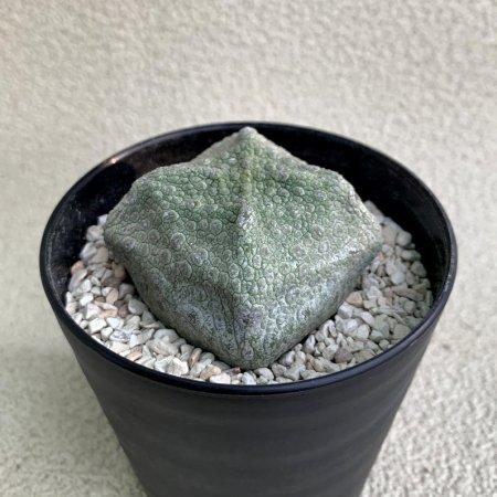 Pseudolithos cubiforme