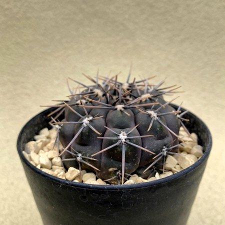 Gymnocalycium nigrum