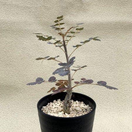 Boswellia dioscoridis