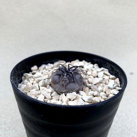 Copiapoa corralensis