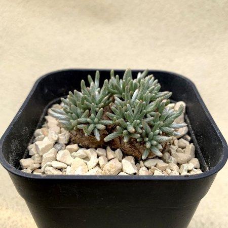 Avonia quinaria ssp.alstonii
