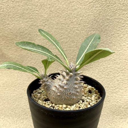 Pachypodium Densicaule
