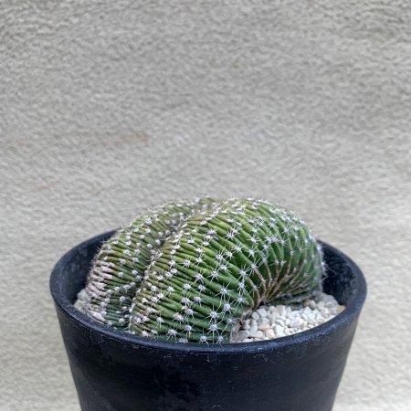 Echinopsis eyriesii f. crist.