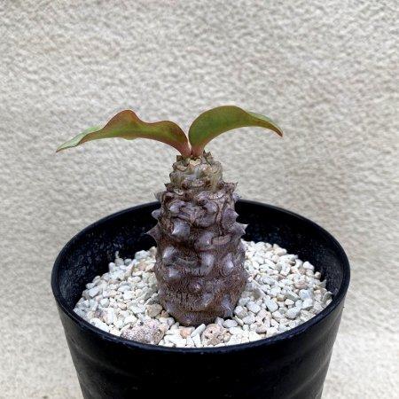 Euphorbia milii var.vulcanii
