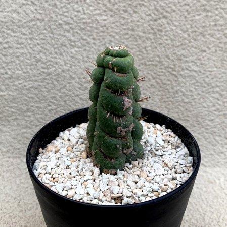 Eulychnia castanea f. 'spiralis'