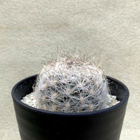 Eriosyce gerocephala