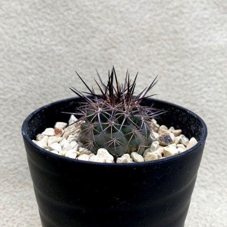 Copiapoa desertorum var. rupestris