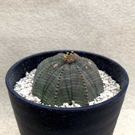 <img class='new_mark_img1' src='https://img.shop-pro.jp/img/new/icons8.gif' style='border:none;display:inline;margin:0px;padding:0px;width:auto;' />Euphorbia obesa