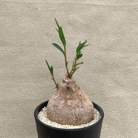<img class='new_mark_img1' src='https://img.shop-pro.jp/img/new/icons8.gif' style='border:none;display:inline;margin:0px;padding:0px;width:auto;' />Euphorbia trichadenia