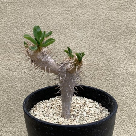 <img class='new_mark_img1' src='https://img.shop-pro.jp/img/new/icons8.gif' style='border:none;display:inline;margin:0px;padding:0px;width:auto;' />Euphorbia guillauminiana