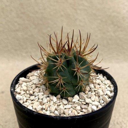 Eriosyce strausianus(pyrrhocactus)