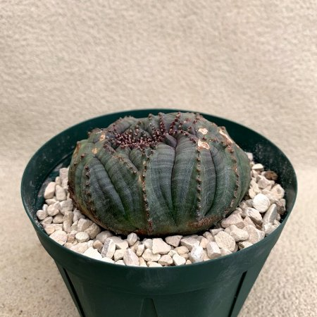 Euphorbia obesa crist.