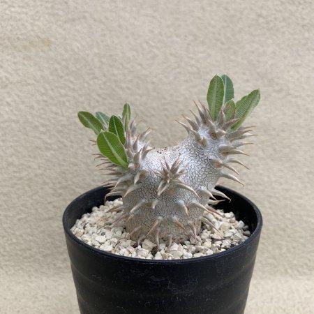 Pachypodium eburneum×brevicaule