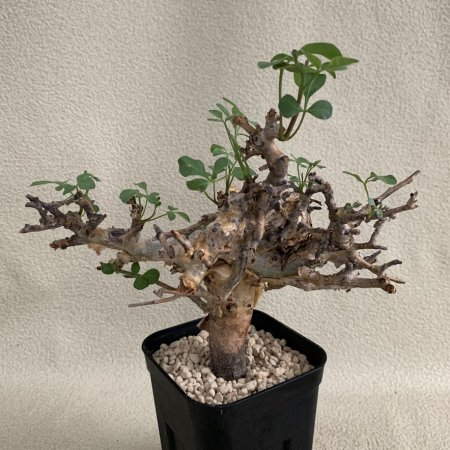 <img class='new_mark_img1' src='https://img.shop-pro.jp/img/new/icons8.gif' style='border:none;display:inline;margin:0px;padding:0px;width:auto;' />Commiphora stocksiana
