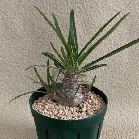 <img class='new_mark_img1' src='https://img.shop-pro.jp/img/new/icons8.gif' style='border:none;display:inline;margin:0px;padding:0px;width:auto;' />Pachypodium gracilius