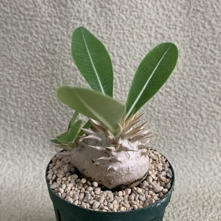 <img class='new_mark_img1' src='https://img.shop-pro.jp/img/new/icons8.gif' style='border:none;display:inline;margin:0px;padding:0px;width:auto;' />Pachypodium enigmaticum