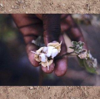 0002 Karunganni Cotton Yardage カランガニ原種コットン生地