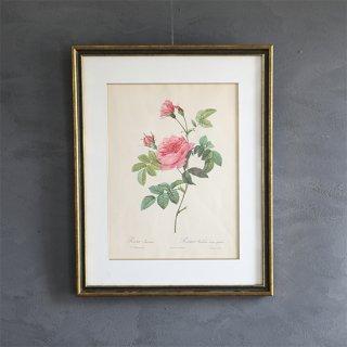 ルドゥーテ「バラ図譜」 バラのボタニカルアート額付き「ロサ・イネルミス」