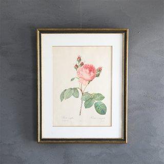 ルドゥーテ「バラ図譜」 バラのボタニカルアート額付き「ロサ・ケンティフォリア」