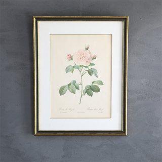 ルドゥーテ「バラ図譜」 バラのボタニカルアート額付き「ロサ・アルバ・レガリス」