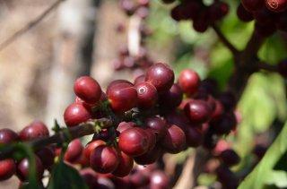 グァテマラ アンティグア地区 ラ・ホヤ農園 【超高地産ブルボン種100%】 200g〈イタリアンロースト/極深煎り〉