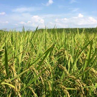 2020年度産 新米キヌヒカリ100% 玄米30kg