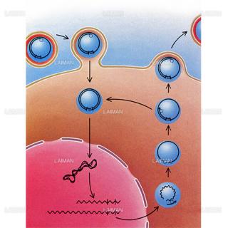 B型肝炎ウイルスの複製(Sサイズ)