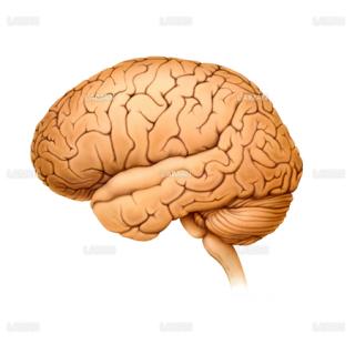 脳側面図(Sサイズ)