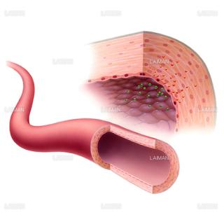 一酸化窒素の血管拡張1(Sサイズ)