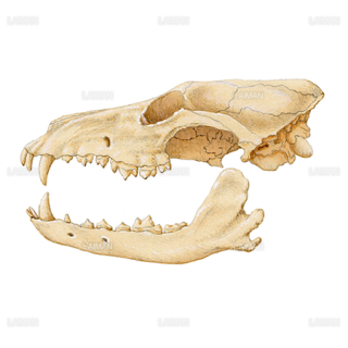 アメリカアカオオカミの頭蓋骨(Sサイズ)