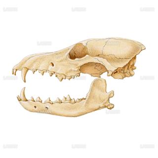 コヨーテの頭蓋骨(Sサイズ)