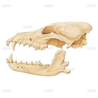 タイリクオオカミの頭蓋(Sサイズ)