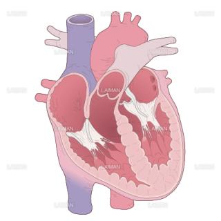 心臓 (Sサイズ)