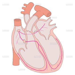 心臓 中枢神経支配 (Sサイズ)