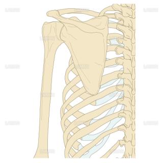肩関節の構造(背面) (Sサイズ)