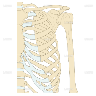 肩関節の構造(前面) (Sサイズ)