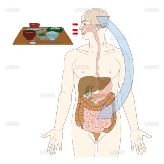 消化器管と脳への伝達の図解 (Sサイズ)